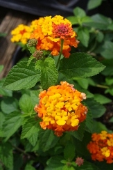 Miss Huff Hardy Lantana (bush, yellow, pink and orange), Lantana camara 'Miss Huff'